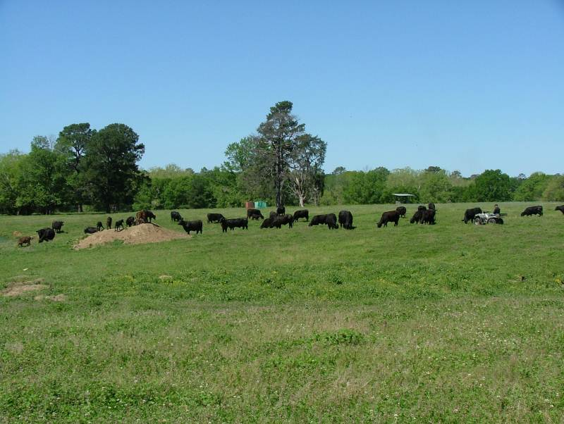 SJ Cows Grazing