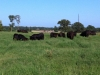 Cattle enjoying good grass
