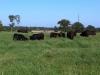 Cattle enjoying good grass