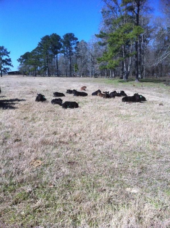 Calves Taking a Break